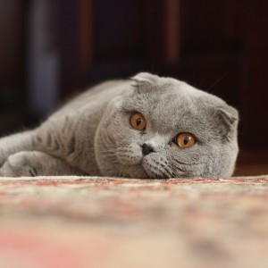 1024px-Adult_Scottish_Fold